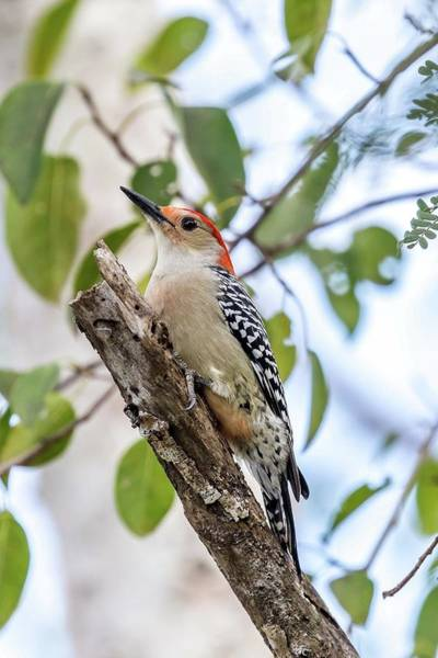 Photograph - Red-bellied Woodpecker by Paul Schultz