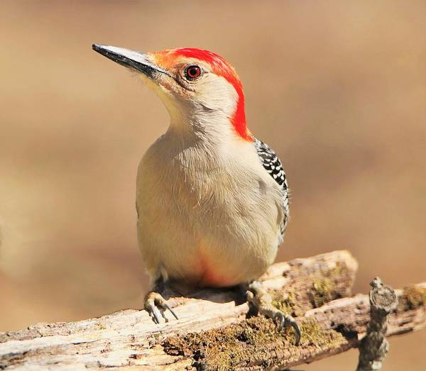 Photograph - Red-bellied Woodpecker Portrait by Sheila Brown