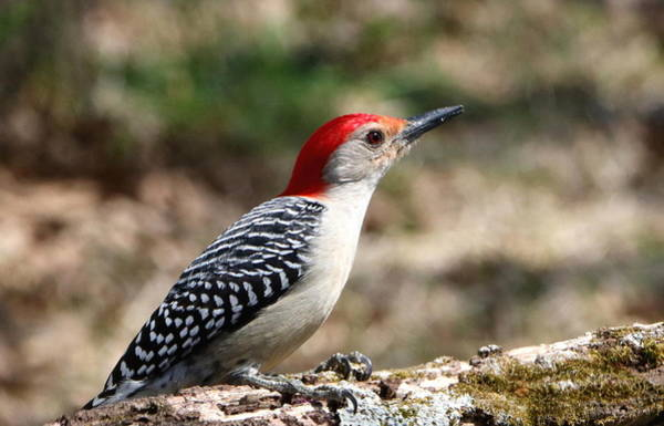 Photograph - Red-bellied Woodpecker by Sheila Brown