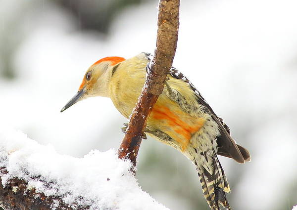 Photograph - Red-bellied Woodpecker With Snow by Daniel Reed