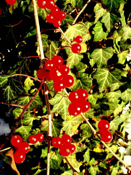 Photograph - Red Berries And Ivy by Beth Akerman