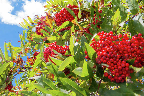 Photograph - Red Berries, Blue Skies by D K Wall