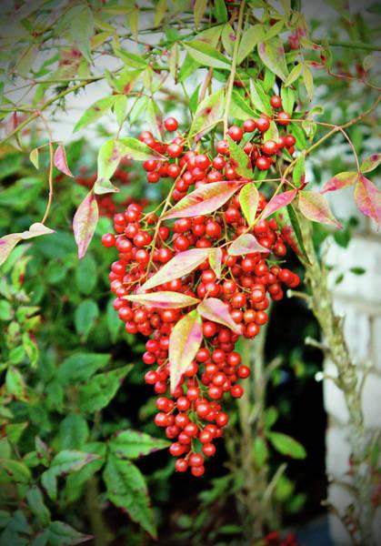 Photograph - Red Berries  by Cynthia Guinn