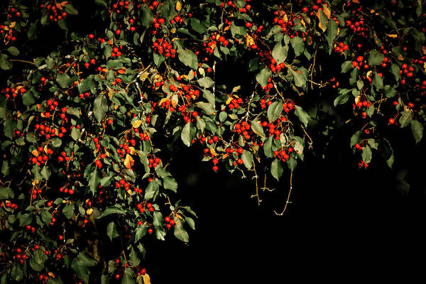 Wall Art - Photograph - Red Berries by Dan Sproul