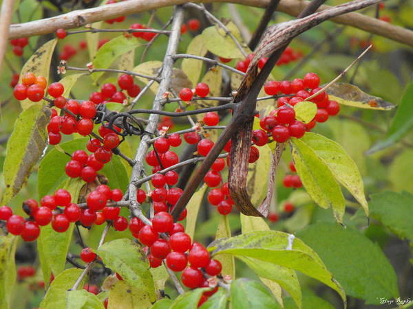 Saint Louis County Photograph - Red Berries by Ginger Repke