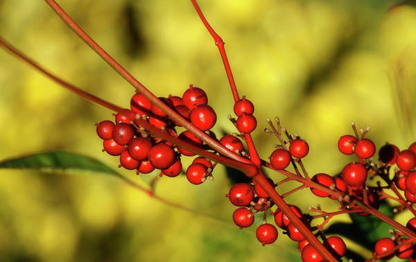 Photograph - Red Berries In Golden Light by Cate Franklyn