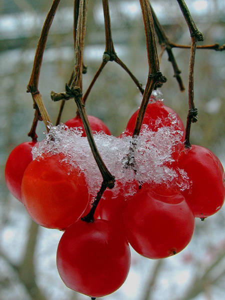 Photograph - Red Berries In Winter by Juergen Roth