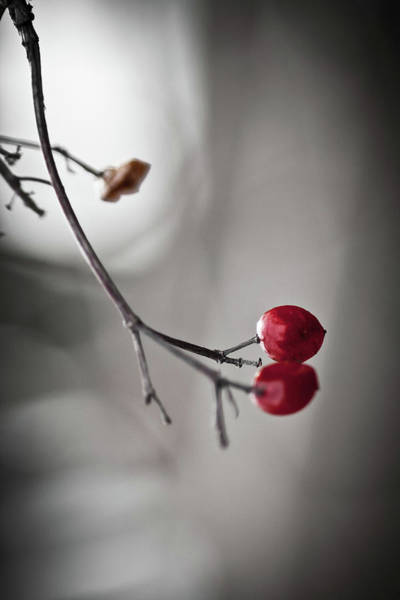 Crumbling Photograph - Red Berries by Mandy Tabatt