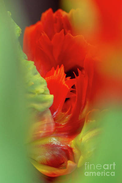 Photograph - Red Between Green Parrot Tulips by Heiko Koehrer-Wagner