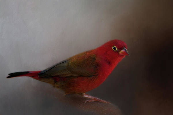 Wall Art - Photograph - Red-billed Firefinch by Lana Trussell