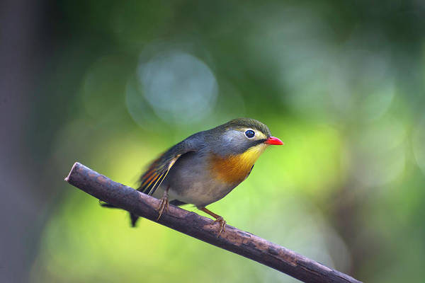 Photograph - Red Billed Leiothrix by John Poon