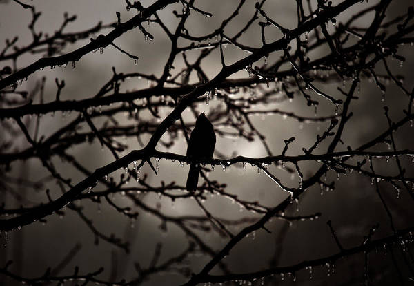Photograph - Red Bird At Dawn by Patricia Montgomery