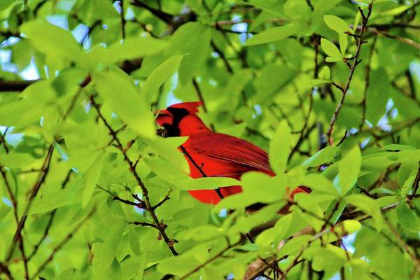 Photograph - Red Bird In The Middle by Cynthia Guinn