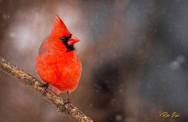 Photograph - Red Bird In The Snow by Rikk Flohr