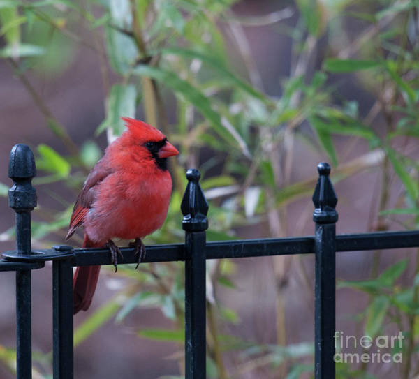 Photograph - Red Bird On A Iron Fence by Dale Powell