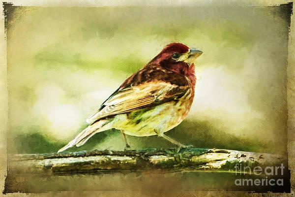 Photograph - Red Bird On Branch Ginkelmier Inspired by Christina VanGinkel