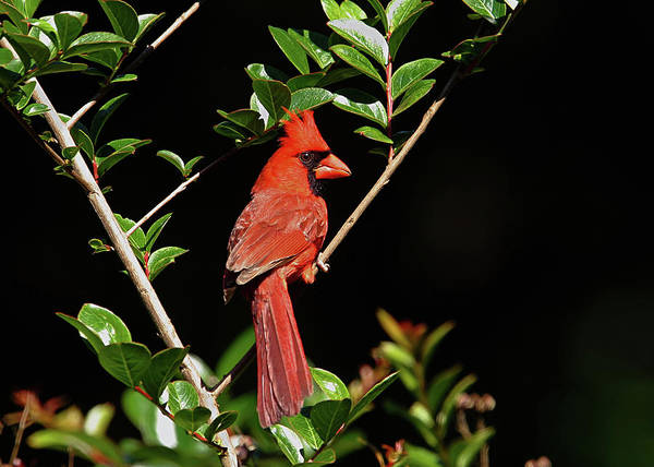 Photograph - Red Bird by Ronnie and Frances Howard
