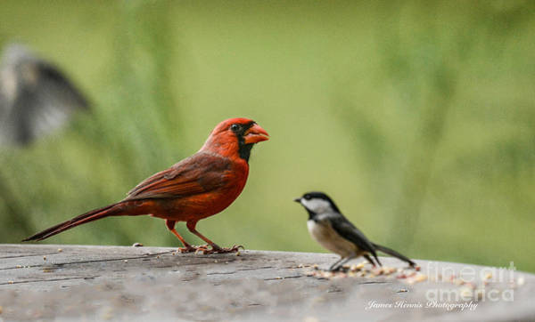 Photograph - Red Bird With Friend by James Hennis