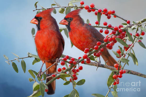 Wall Art - Photograph - Red Birds In Red Berries by Bonnie Barry
