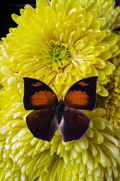 Mums Photograph - Red Black Butterfly by Garry Gay