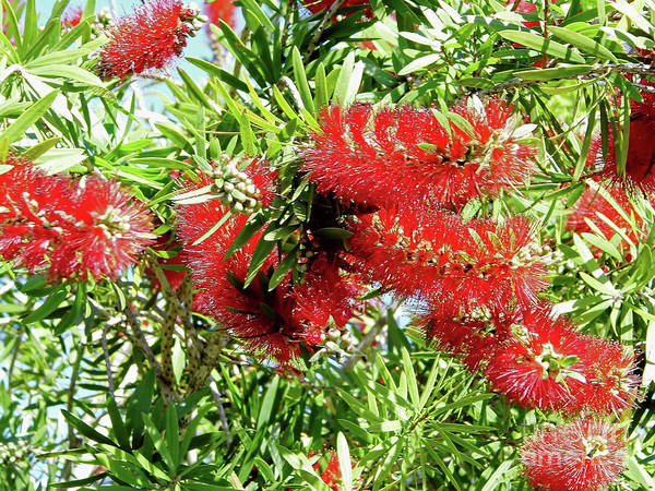 Photograph - Red Bottle Brush by D Hackett
