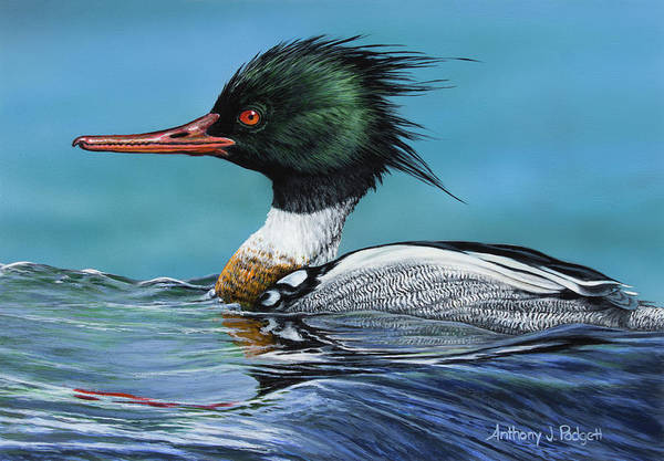 Painting - Red Breasted Merganser by Anthony J Padgett