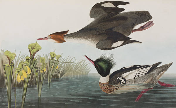 Audubon Painting - Red-breasted Merganser by John James Audubon