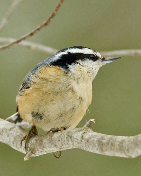Wall Art - Photograph - Red Breasted Nuthatch 1690 by Michael Peychich