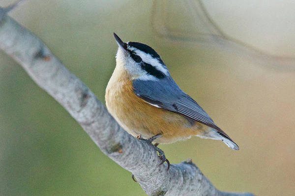 White-breasted Nuthatch Photograph - Red-breasted Nuthatch 7963 by Michael Peychich