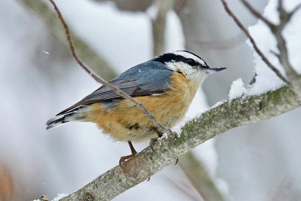Wall Art - Photograph - Red-breasted Nuthatch 9699 by Michael Peychich