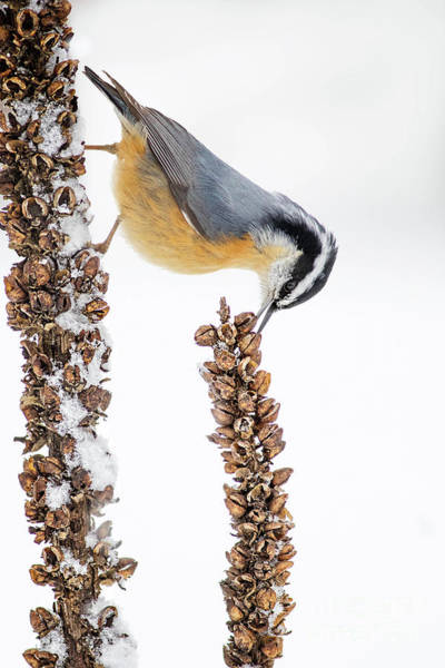 Wall Art - Photograph - Red Breasted Nuthatch by Todd Bielby