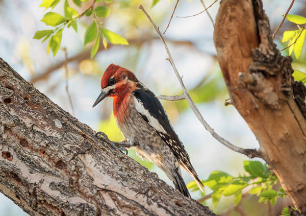 Photograph - Red-breasted Sapsucker In The Sun by Loree Johnson