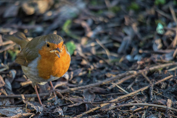 Photograph - Red Brest Robin  by Cliff Norton