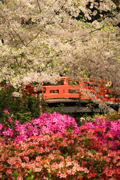 Photograph - Red Bridge And Blossoms by James Eddy