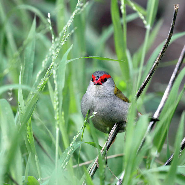 Photograph - Red Browed Finch by Nicholas Blackwell