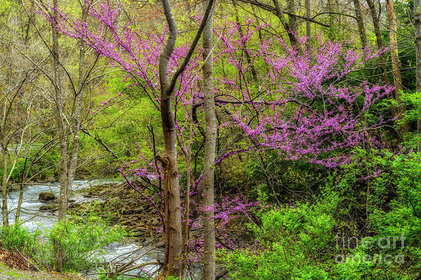 Photograph - Red Bud And River by Thomas R Fletcher