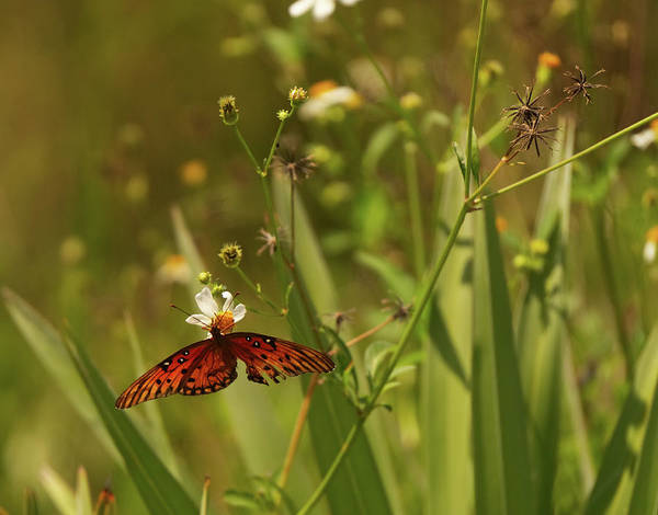 Photograph - Red Butterfly In Daisy Field by Vincent Billotto
