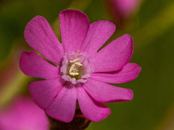 Photograph - Red Campion by Nick Bywater