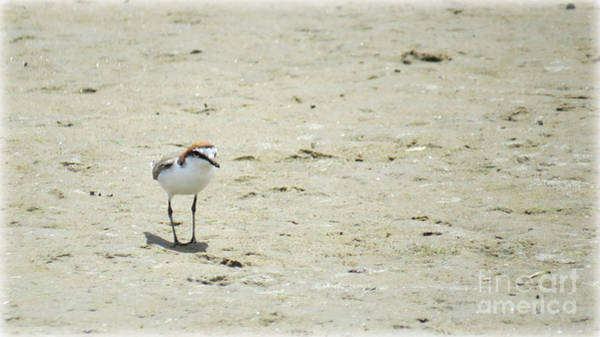 Evie Photograph - Red Capped Plover by Evie Hanlon