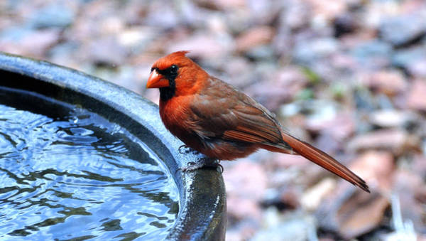 Photograph - Red Cardinal by Donna Proctor