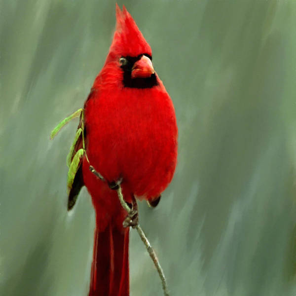 Ornithological Photograph - Red Cardinal Painting by Bob and Nadine Johnston