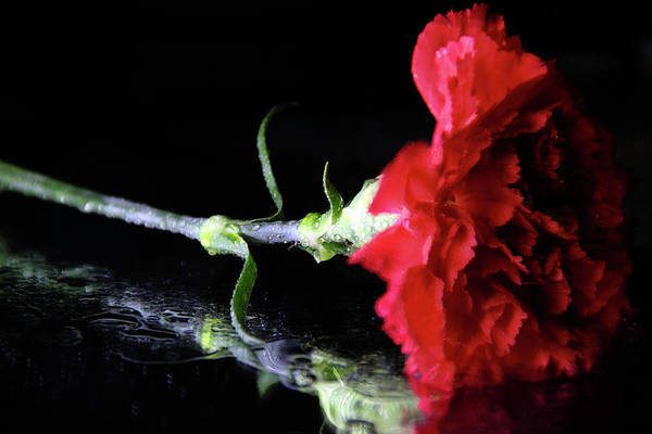Photograph - Red Carnation by Angela Murdock