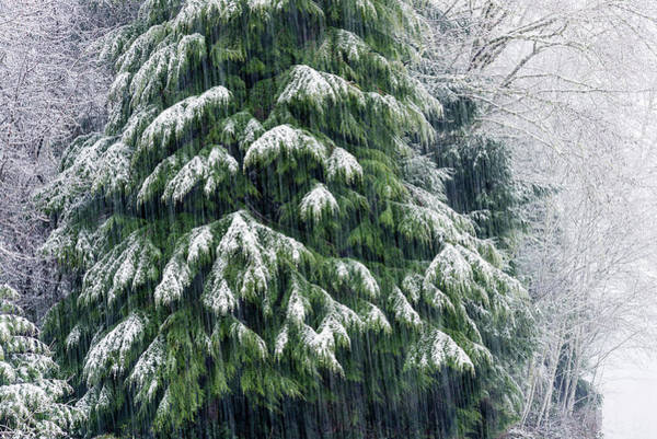 Photograph - Red Cedar And Snow by Robert Potts