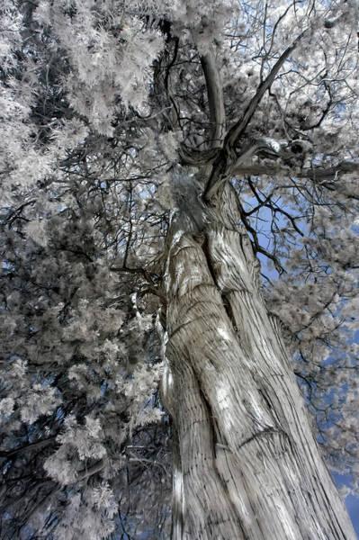 Photograph - Red Cedar In Infrared by Liza Eckardt