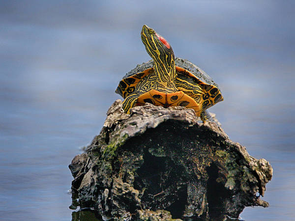 Photograph - Red Cheek Turtle by Charles McKelroy