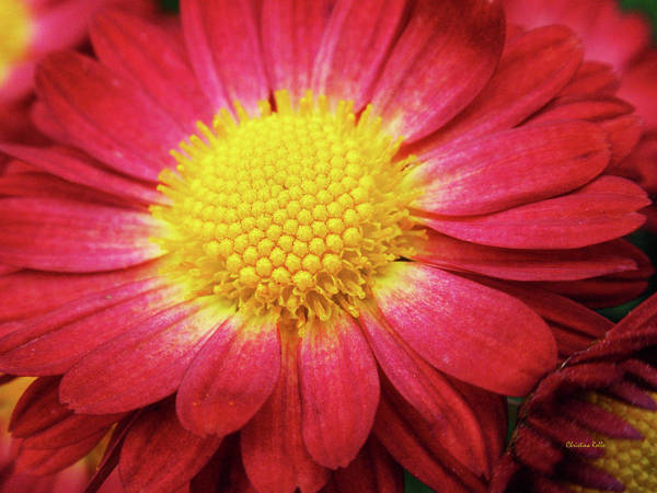 Photograph - Red Chrysanthemum by Christina Rollo