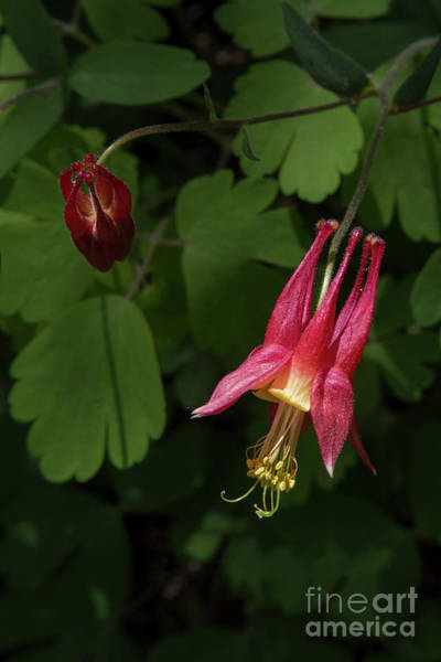 Photograph - Red Columbines 1 by Chris Scroggins