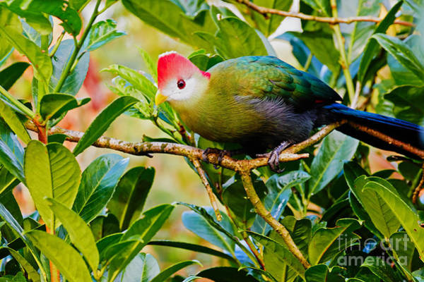 Photograph - Red-crested Turaco II by Nick  Biemans