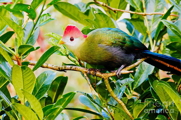 Photograph - Red-crested Turaco by Nick  Biemans
