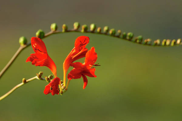 Photograph - Red Crocosmia by Lara Ellis
